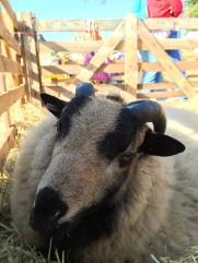 badger sheep