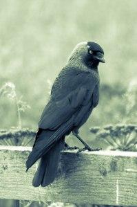Jackdaw sitting on a fence