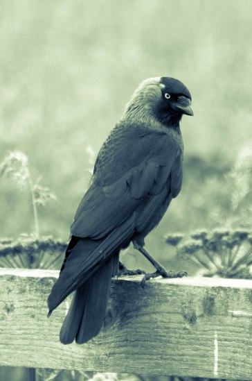 Jackdaw sitting on a fence