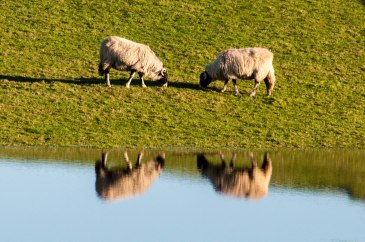 Sheep reflected in flood water