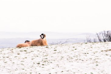 Swaledale sheep in the snow