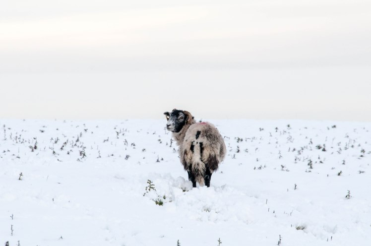 Swaledale sheep in a snowy field