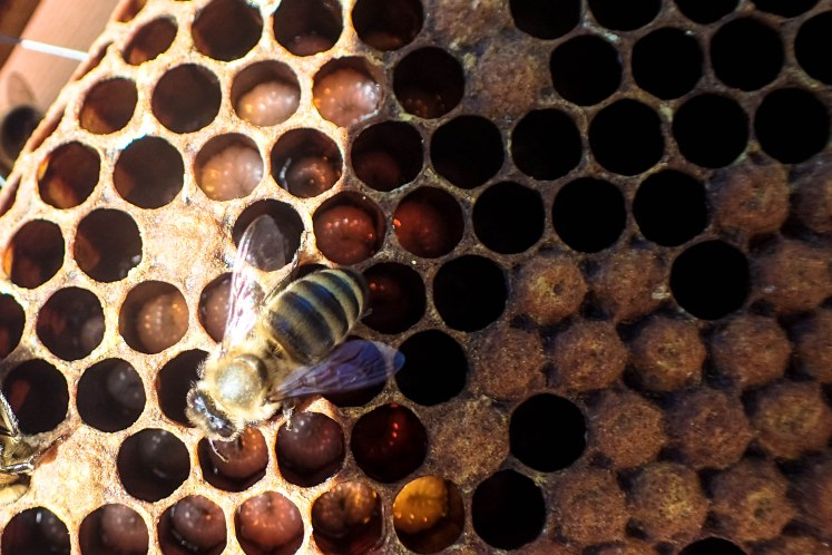 Bee on comb with larvae
